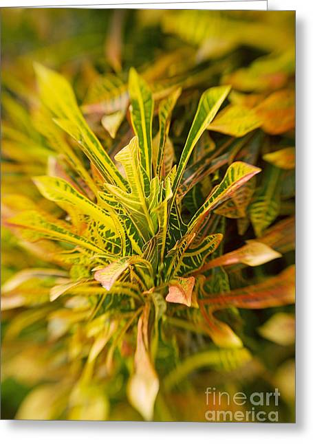 Selective Soft Focus Greeting Cards - Croton Blur Greeting Card by Ron Dahlquist - Printscapes