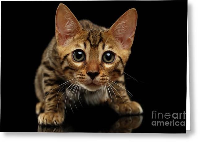 Crouching Bengal Kitty On Black  Greeting Card by Sergey Taran