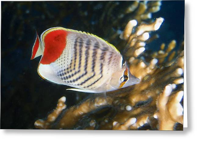 Decorative Fish Greeting Cards - Crown Butterflyfish Closeup Greeting Card by Johanna Hurmerinta