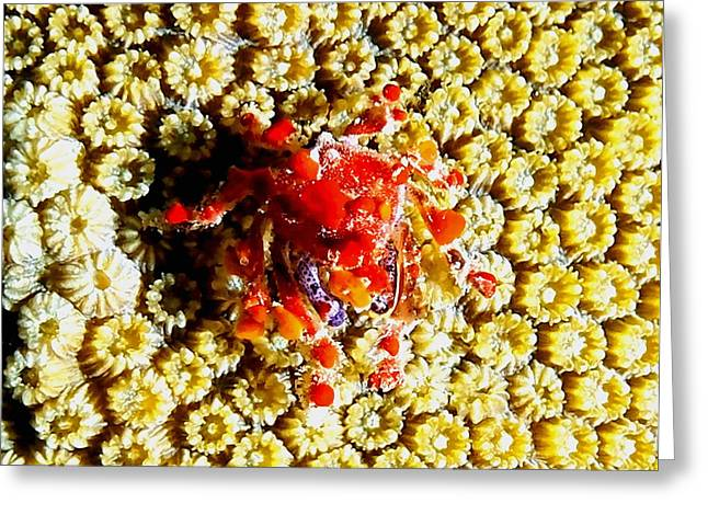 Snorkel Greeting Cards - Cryptic Teardrop Crab Greeting Card by Amy McDaniel