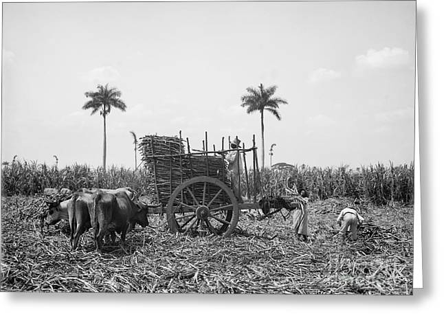 Cattle Photographs Greeting Cards - Cuba: Sugar Plantation Greeting Card by Granger