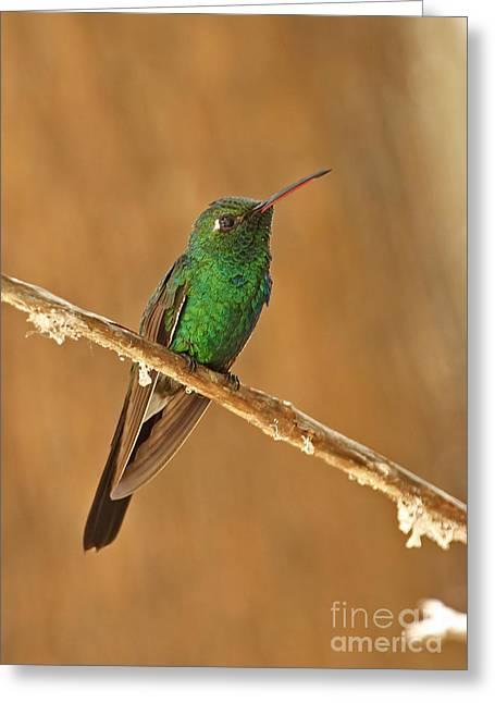 Greater Antilles Greeting Cards - Cuban Emerald Hummingbird Greeting Card by Neil Bowman/FLPA