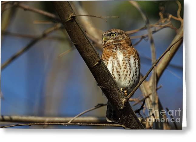 Greater Antilles Greeting Cards - Cuban Pygmy-owl Greeting Card by Neil Bowman/FLPA