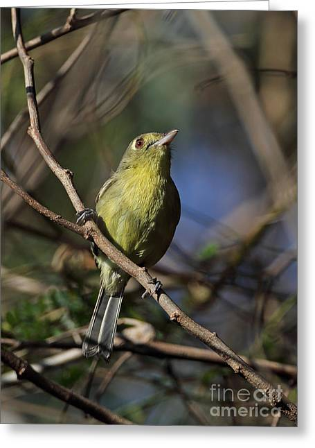 Greater Antilles Greeting Cards - Cuban Vireo Greeting Card by Neil Bowman/FLPA
