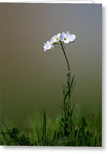 White Smock Greeting Cards - Cuckoo Flower Greeting Card by Ian Hufton