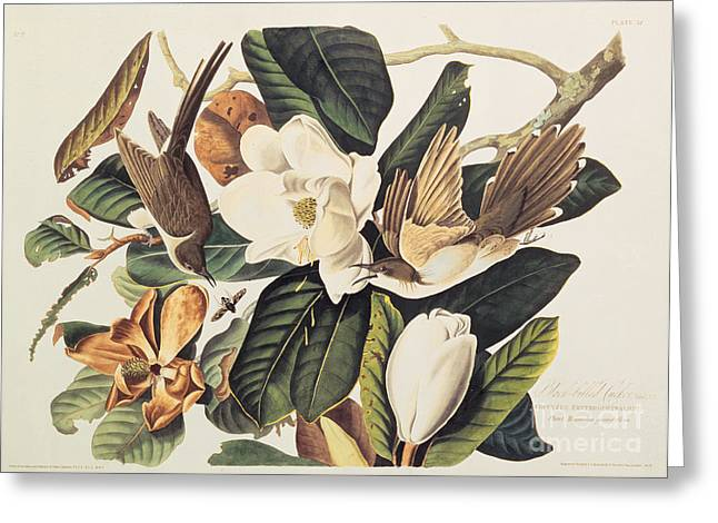Wild Life Drawings Greeting Cards - Cuckoo on Magnolia Grandiflora Greeting Card by John James Audubon