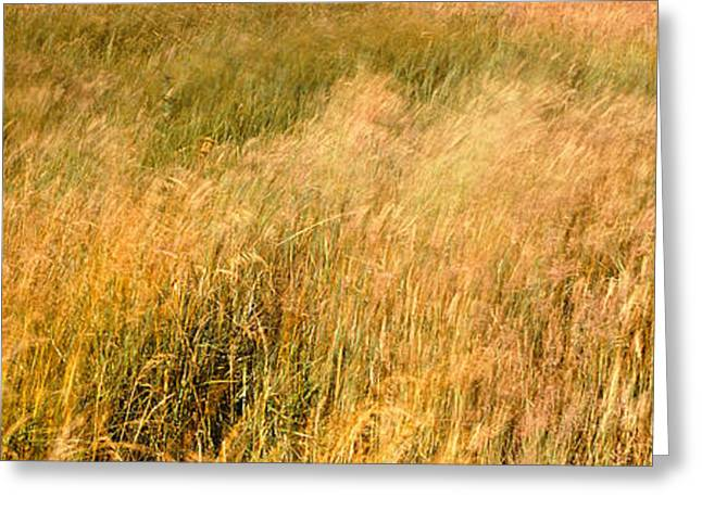 California Quail Greeting Cards - Curing Grass In Field, Quail Hollow Greeting Card by Panoramic Images