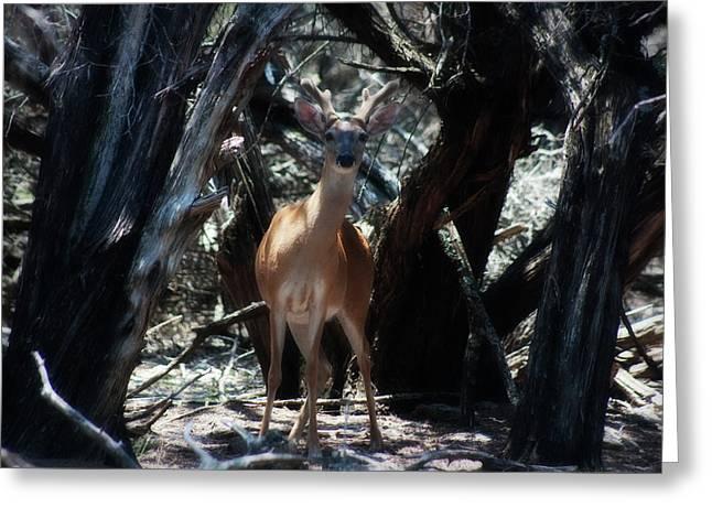 Axis Greeting Cards - Curious Bambi Greeting Card by Douglas Barnard