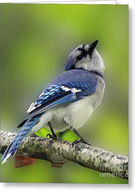 Curious Blue Jay Greeting Card by Inspired Nature Photography Fine Art Photography