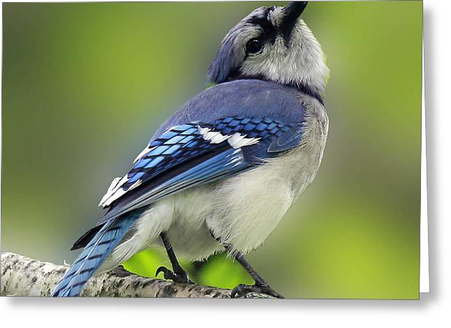 Curious Blue Jay Greeting Card by Inspired Nature Photography By Shelley Myke