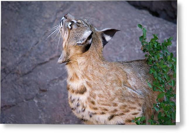 Curious Bobcat - ASDM Tucson Arizona Greeting Card by Randall Ingalls