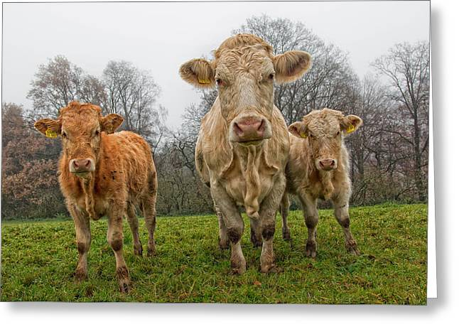 Three Cows Greeting Cards - Curious Curiouser And Curiousest Greeting Card by Jan Temmel