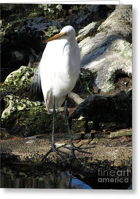 Sea Animals Greeting Cards - Curious Egret Greeting Card by Sharon Nelson-Bianco
