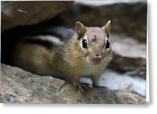 Chipmunk Greeting Cards - Curious little Chipmunk Greeting Card by Pierre Leclerc Photography