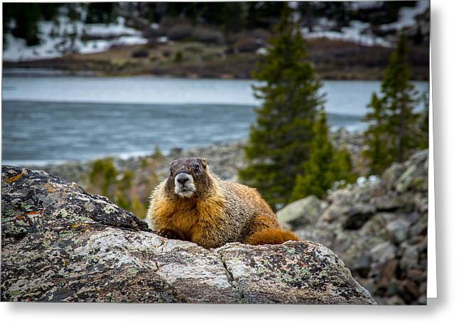 Curious Marmot Greeting Card by Michael J Bauer