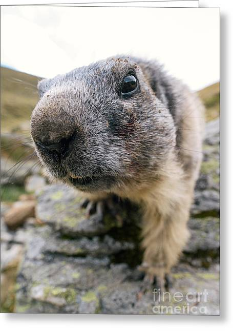 Swiss Photographs Greeting Cards - Curious marmot Greeting Card by Peter Wey