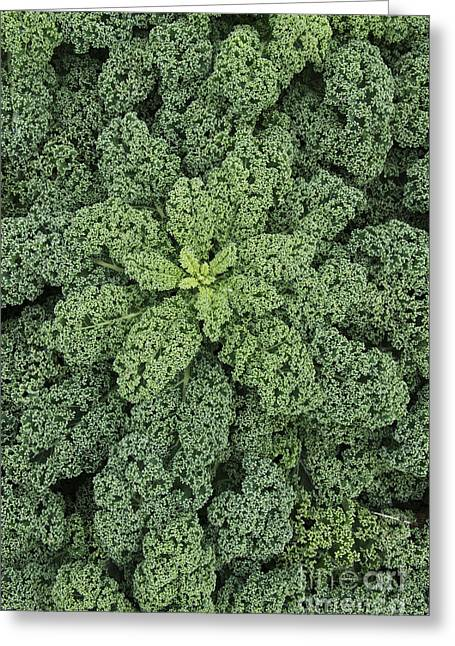 Home Grown Greeting Cards - Curly Kale Greeting Card by Tim Gainey