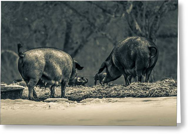 Decorative Art Greeting Cards - Curly Tail Pigs Greeting Card by Bob Orsillo