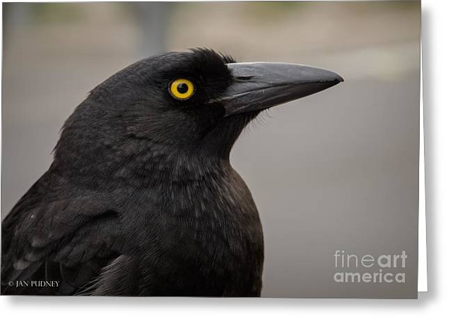 Australian Native Bird Greeting Cards - Currawong Greeting Card by Jan Pudney
