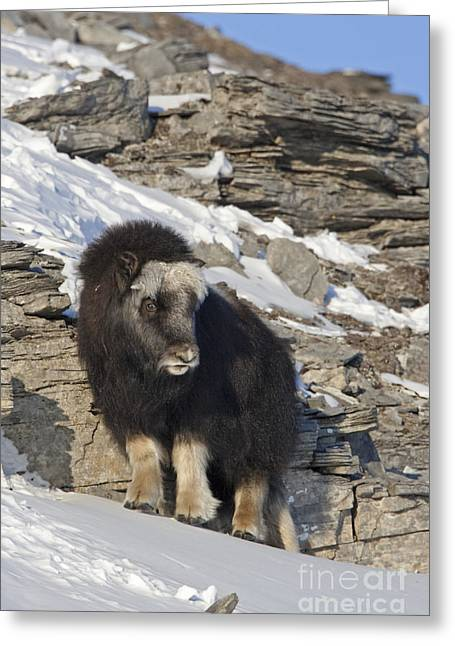 Musk Greeting Cards - Cute and Shy A Musk Ox Calf Greeting Card by Tim Grams