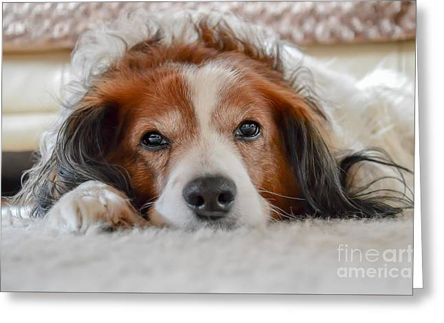 Kooiker Greeting Cards - Cute brown and white dog laying on carpet Greeting Card by Davey Poppe