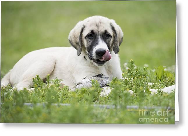 Licking Greeting Cards - Cute Dog Greeting Card by Juli Scalzi