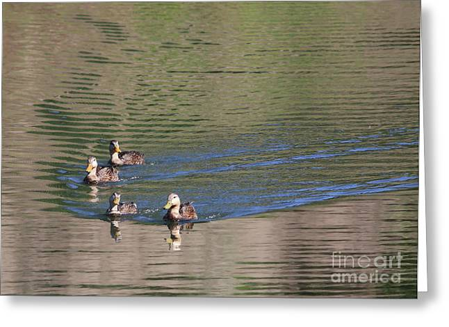 Ripples In Water Greeting Cards - Cute Ducks on the Pond Greeting Card by Carol Groenen