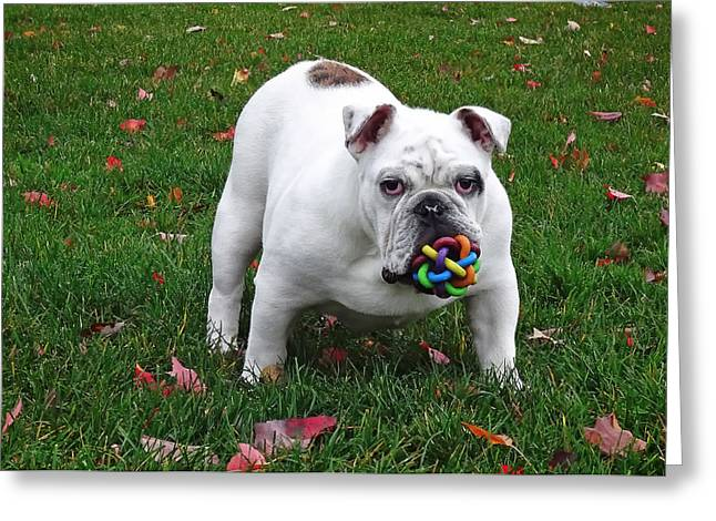 Toy Dogs Greeting Cards - Cute English Bulldog Greeting Card by Alain Audet