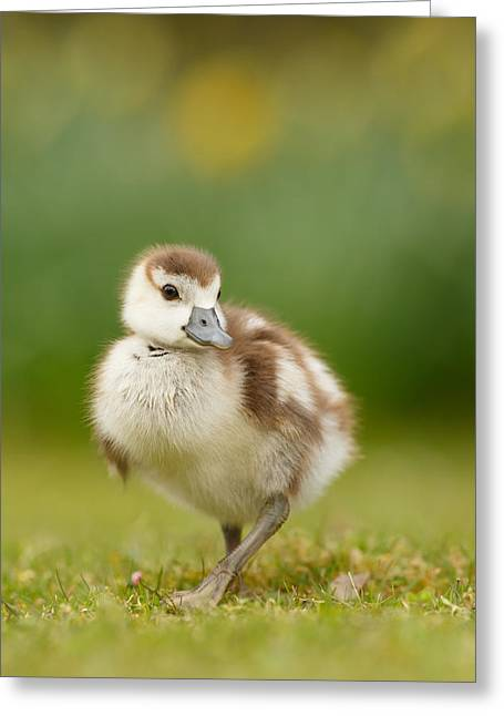 Suckling Greeting Cards - Cute Gosling Greeting Card by Roeselien Raimond