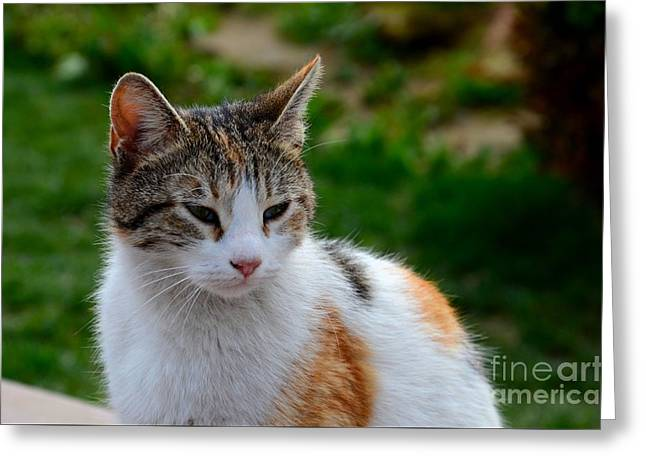 Eyelash Greeting Cards - Cute grey white and orange cat poses and gazes Greeting Card by Imran Ahmed