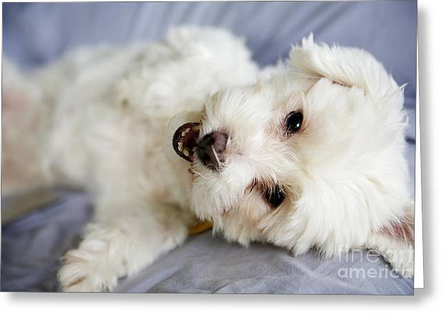 Kauai Dog Greeting Cards - Cute Puppy Greeting Card by Kicka Witte - Printscapes
