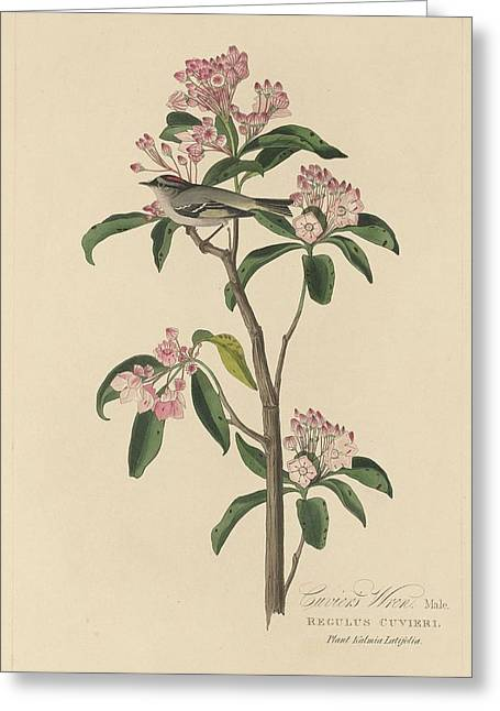 Cuvier's Wren Greeting Card by John James Audubon
