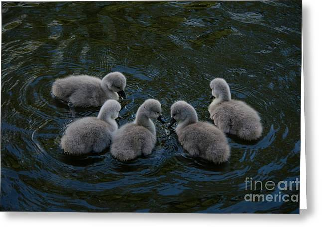 Hunting Bird Greeting Cards - Cygnets can you see it Greeting Card by F Helm