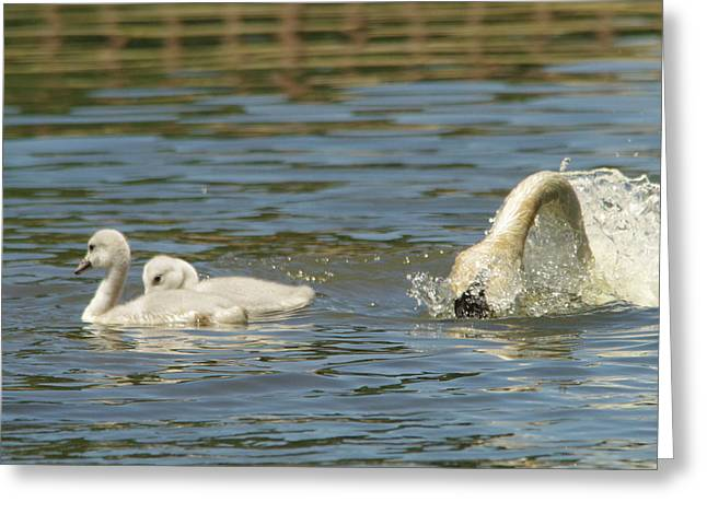 Swans... Greeting Cards - Cygnets  Greeting Card by Jeff  Swan