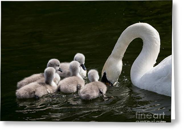 Hunting Bird Greeting Cards - Cygnets learning from mum Greeting Card by F Helm