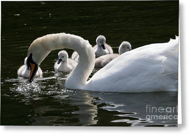 Swans... Greeting Cards - Cygnets Watching Mother Hunt Greeting Card by F Helm