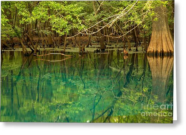 Manatee Springs Greeting Cards - Cypress In Manatee Greeting Card by Adam Jewell
