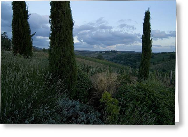 Chianti Hills Photographs Greeting Cards - Cypress Trees Growing In The Rolling Greeting Card by Todd Gipstein