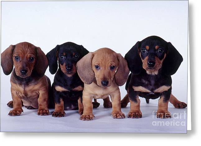 Bred Photographs Greeting Cards - Dachshund Puppies  Greeting Card by Carolyn McKeone and Photo Researchers