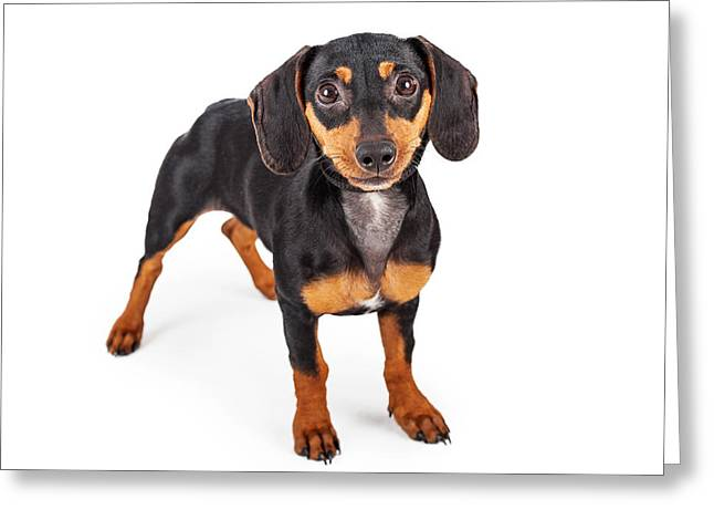 Doxie Greeting Cards - Dachshund Puppy Dog Standing Lookng Forward Greeting Card by Susan  Schmitz