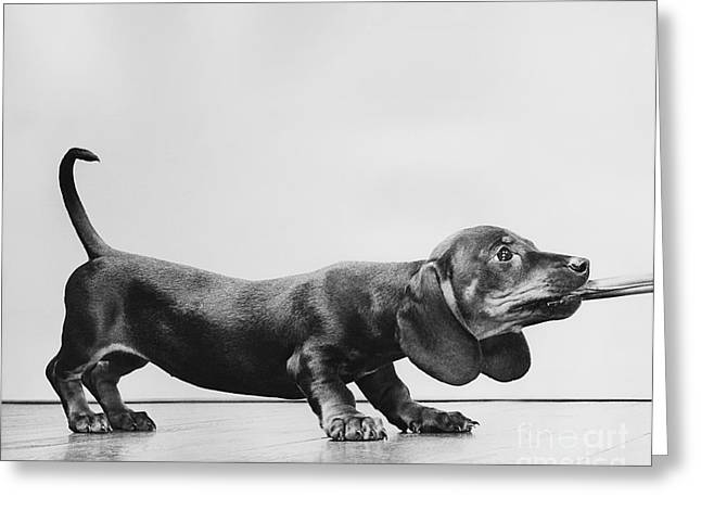 Weiner Dog Greeting Cards - Dachsund Puppy Playing Greeting Card by Ylla