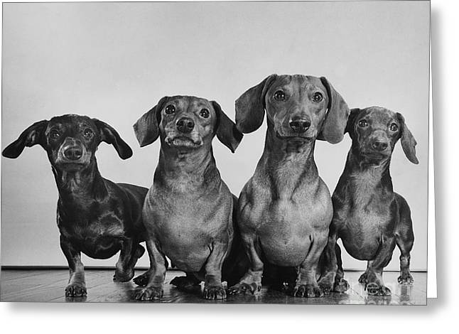 Weiner Dog Greeting Cards - Dachsunds Greeting Card by Ylla