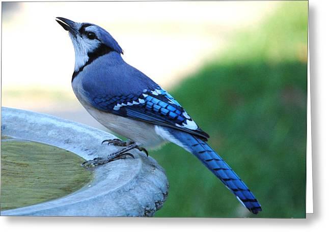 Jaybird Greeting Cards - Daddy Blue Greeting Card by DiDi Higginbotham
