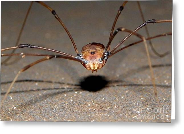 Family Pyrography Greeting Cards - Daddy Long Legs Greeting Card by Bobby Hammerstone