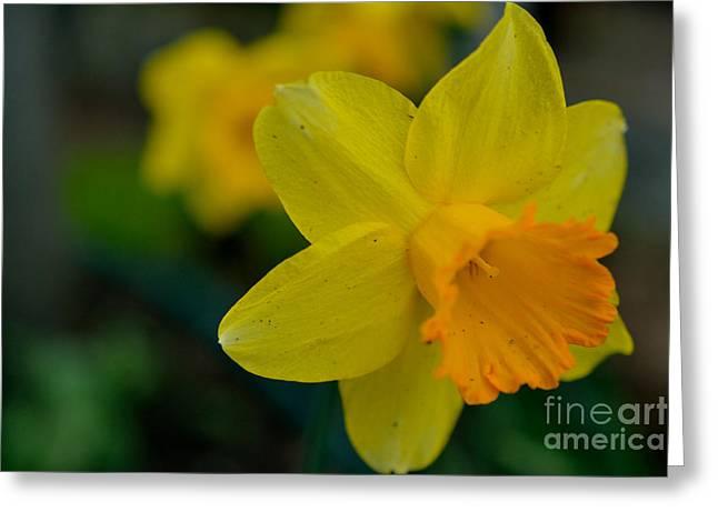 Spring Bulbs Greeting Cards - Daffodil Macro Greeting Card by Elmar Langle
