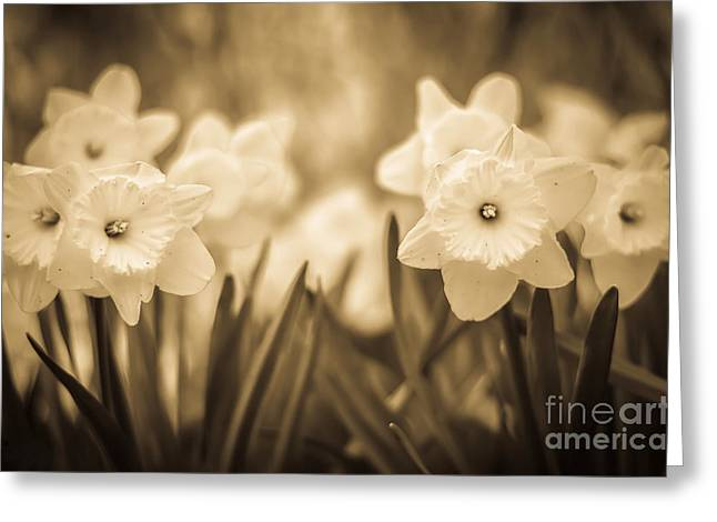 Sepia And Cream Greeting Cards - Daffodil Patch Sepia Greeting Card by Alissa Rosenberg
