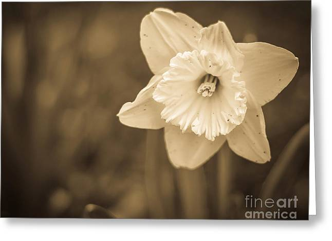 Sepia And Cream Greeting Cards - Daffodil Sepia Greeting Card by Alissa Rosenberg