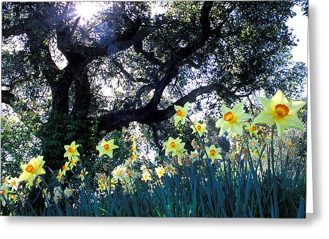 Flower Photos Greeting Cards - Daffodils and the Oak Greeting Card by Kathy Yates