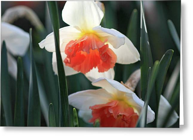 Daffodils spring is here Greeting Card by Pierre Leclerc Photography