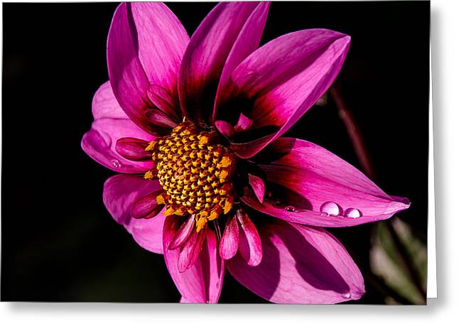 Aster Greeting Cards - Dahlia Bee Happy Greeting Card by Julie Palencia
